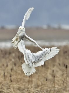 Snowy Owls.