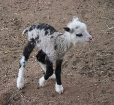 Geep (Goat + Sheep) - 18 Hybrid Animals That Are Hard To Believe Actually Exist