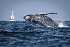 Segundo o Instituto Chico Mendes de Conservação da Biodiversidade (ICMBio), cerca de 90% das baleias-jubarte (Megaptera novaeangliae) que chegam ao litoral brasileiro escolhem o Parque Nacional Marinho dos Abrolhos para a temporada de acasalamento – Foto:     bschwehn/iStockphoto/Thinkstock