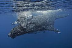 Une baleine à bosse et son petit jouent quelques instants sous la surface après avoir respiré, avant de redescendre dans les profondeurs des eaux chaudes des îles Tonga avant leur migration vers l'Antarctique.