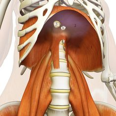 The Daily Bandha: Sankalpa, Visualization and Yoga: The Diaphragm-Psoas Connection. Figure The diaphragm-psoas connection. Videos Yoga, Belly Breathing, Postural, Psoas Release, Muscle Anatomy, 3d Anatomy, Psoas Muscle, Muscle Body, Qi Gong