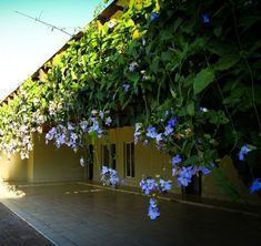 pergolado com flor tumbergia azul