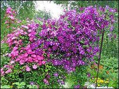 клематисы Клематисы: посадка, уход, размножение Plants, Gardening, Garten, Flora, Plant, Lawn And Garden, Planting, Horticulture