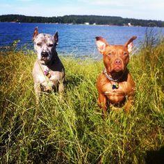 Lake nacogdoches with my pitbulls #pitbull #nacogdoches