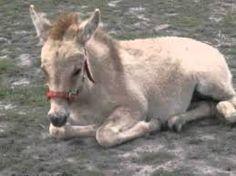 Kuvahaun tulos haulle Aasi Donkey, Horses, Animals, Animales, Animaux, Donkeys, Animal, Animais, Horse