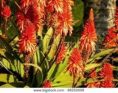 Orange Aloe flowers with sugar bird.