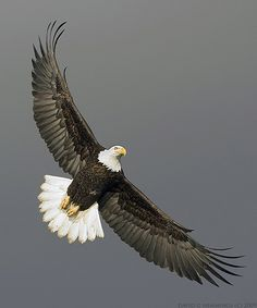 "Bald Eagle.  Photo by: David Hemmings on Flickr. ""Eagles"""
