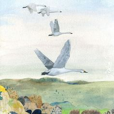 Flight of endurance. Swan Illustration by Rachel Grant.