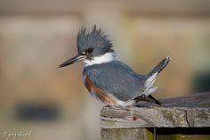 Funny Wildlife, Belted Kingfisher - female by greg obierek on...