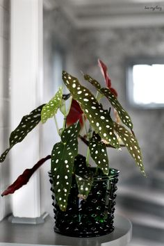 Indoor Garden, Indoor Plants, Begonia Maculata, Exotic Plants, Hello Spring, Houseplants, Plant Hanger, Planting Flowers, Poppies