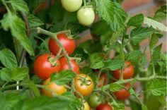 The 16 Best Healthy, Edible Plants to Grow Indoors :: Hometalk