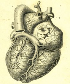 Medical Illustration, heart