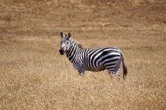 Zebra near the ocean in San Simeon CA part of a herd of the few remaining animals from the old Hearst Castle Private Zoo [OC] [5297  3531] - http://ift.tt/21l2oPN