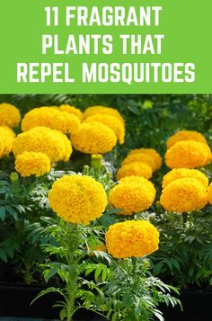 Enjoy a mosquito free summer by planting these mosquito repellent plants around your home and garden. garden edging 11 Fragrant Plants That Repel Mosquitoes Garden Yard Ideas, Lawn And Garden, Garden Projects, Home And Garden, Summer Garden, Outdoor Plants, Garden Plants, Outdoor Gardens, Modern Gardens