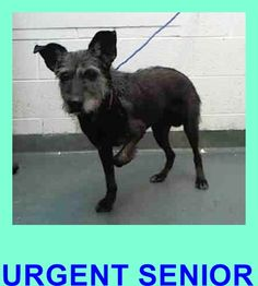 SANDY (A1675395) I am a spayed female salt/pep Terrier. The shelter staff think I am about 8 years old and I weigh 27 pounds. I was found as a stray and I may be available for adoption on 01/30/2015. — Miami Dade County Animal Services. https://www.facebook.com/urgentdogsofmiami/photos/pb.191859757515102.-2207520000.1422579576./917208781646859/?type=3&theater