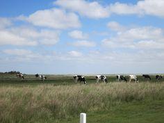 Koeien in de kwelder Schiermonnikoog