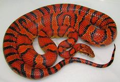Abbotts Okeetee Corn Snake........looks like my Rosie, only her pattern is more a zig-zag