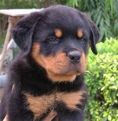 Rottweiler I used to have a Rottweiler but then she passed away at age 12 no in dog years