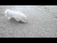 Watching this pink fairy armadillo digging will make you inexplicably happy…