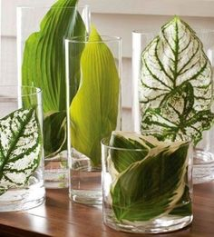 Love this modern take on centerpieces:     Hostas leaves in glass hurricanes. by angelia