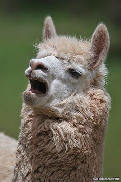 ˚Singing Alpaca for some reason I can't stop laughing at this Alpacas, Cute Baby Animals, Animals And Pets, Funny Animals, Funny Llama Pictures, Cute Alpaca, Baby Alpaca, Alpaca Funny, Cute Friends