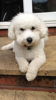 Bichon Frise dog                                                                                                                                                                                 More
