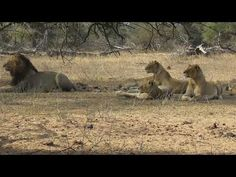 Pride of 10 Lions at Leeupan. Male Lion, Lions, Pride, Animals, Beautiful, Lion, Animales, Animaux, Animal Memes