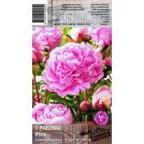 Pink Paeonia