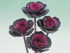 a rose by any other name?    Ornamental Kale Crane Series Rose