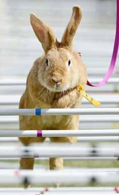 Orsino von Illyrien Takes the Poles - The Rabbit-Jumping Competition (Kaninhop) in Germany, September 2013 - Photo © Jens Meyer/AP Photo