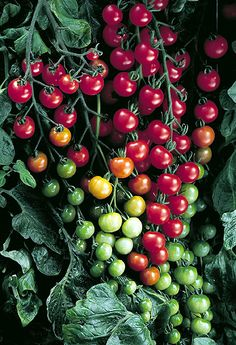 Grow Organic Tomatoes - Get to know the Sweet 100 Tomato a little bit better: size, days to maturity, color, season, type. Growing Tomatoes Indoors, Growing Tomatoes From Seed, Types Of Tomatoes, Growing Tomato Plants, Growing Tomatoes In Containers, Grow Tomatoes, Baby Tomatoes, Growing Vegetables, Veggies