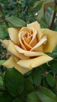 Tatoo Rose, Rose Tattoos, Tattoos Pics, Rose Pictures, Flower Photos, Rose Reference, Ronsard Rose, Rose Flower Wallpaper, Rare Roses