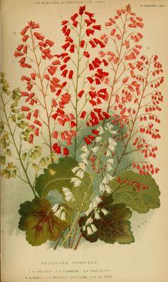 Heuchera. Plate from 'Le Moniteur D'Horticulture' 1903.