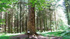 Forstrådens Gran   Visitrebild