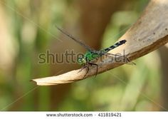 A Small Green Dragonfly Resting on a Dry Corn Leaf with a Soft Green Background - stock photo http://www.shutterstock.com/g/MelodyAnneM?rid=4224454