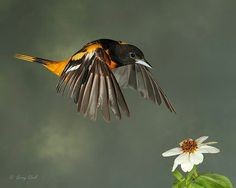 Male Baltimore Oriole. Photo © Gerry Sibell