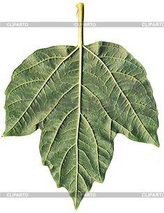 Viburnum Opulus Roseum, Plant Leaves, Plants, Fabric Sewing, Plant, Planets