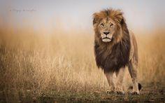 The King !!  Animals photo by riyazquraishi http://rarme.com/?F9gZi