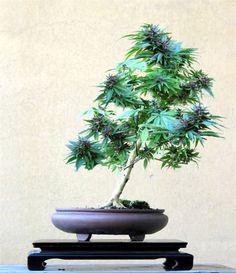 cannabis bonsai bonsai tree office table
