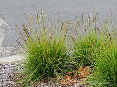 Sesleria autumnalis - autumn moor grass - sügislubikas