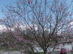 my nectarine tree has beautiful pink flowers right now