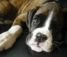 boxer dog photo   The Boxer boxer-dog – Dogs Ranch