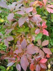 Enkianthus campanulatus - klockbuske Night Garden, Evergreen, White Flowers, Scandinavian, Roses, Gardens, Plants, Ferret, Pink