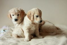 Two adorable Golden Retriever puppies Cute Puppies, Cute Dogs, Dogs And Puppies, Doggies, Baby Animals, Cute Animals, Yellow Lab Puppies, Retriever Puppy, Dog Shedding