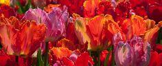 Tulip Bulbs Parrot Blend