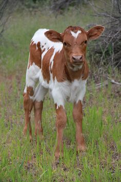 THB Steer Texas Longhorn calf Two Heart Bar Ranch