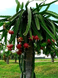 The dragon fruit tree                                                                                                                                                                                 More