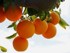 The indoor orange tree not only produces fresh oranges, but also a fragrant tropical scent that serves as a natural room air freshener! Fruit Plants, Fruit Trees, Cherry Plant, Blueberry Bushes, Citrus Trees, Orange Trees, Citrus Fruits, Tree Care, Orange Fruit
