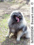 Wolfsspitz Dog On The Sunny Forest Keeshond - Art Print