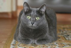 """He looks exactly like our Binx. Glad to see that RB's are big boned and muscular and not just fat!!   From """"Russian Blue beautiful! I had one."""""""